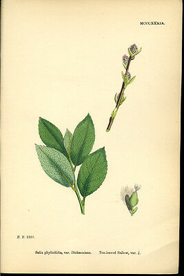 Exquisite SOWERBY Antique Print Botanical TEA-LEAVED SALLOW L4  1859 - H/col