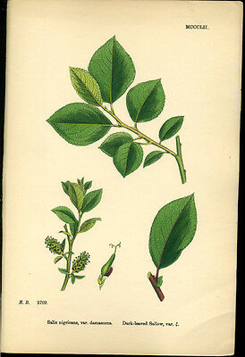 Exquisite SOWERBY Antique Print Botanical DARK LEAVED SALLOW L2 1859 - H/col