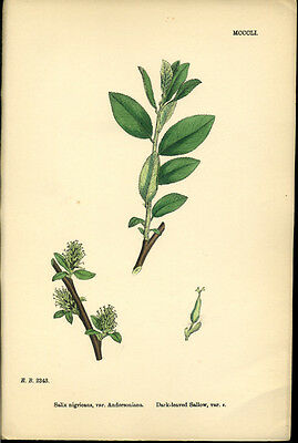 Exquisite SOWERBY Antique Print Botanical DARK LEAVED SALLOW L1 1859 - H/col