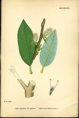 Exquisite SOWERBY Antique Print Botanical DARK LEAVED SALLOW L3 1859 - H/col