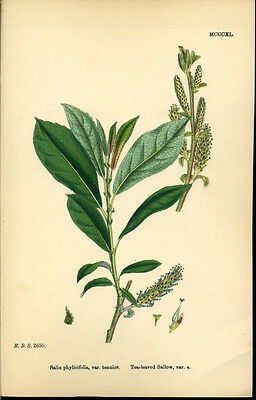 Exquisite SOWERBY Antique Print Botanical TEA-LEAVED SALLOW L7  1859 - H/col