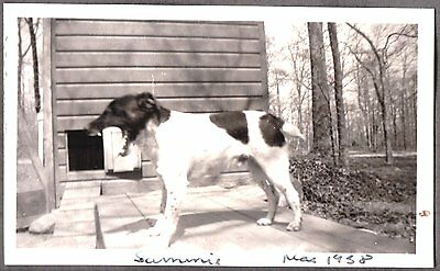 Vintage Photograph 1938 Smooth Fox Terrier Dog Puppy Massachusetts Old Photo