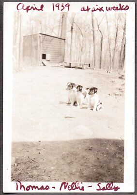 Vintage Photograph 1939 Smooth Fox Terrier Dog Puppies Massachusetts Old Photo