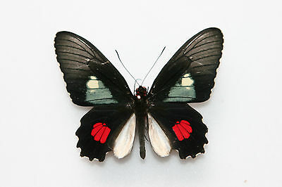 Butterfly x1 male Parides anchises cymochles  (Trinidad) endemic