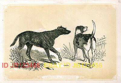 DOG Scottish Deerhound & Foxhound, 1896 Antique Print