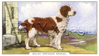 DOG Springer Spaniel (Welsh), Color Trading Card, 1930s
