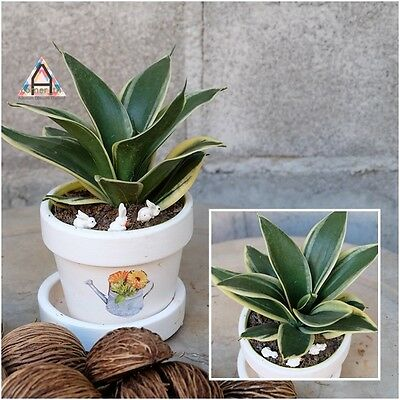 "Snake Plant Tall 5"" Dwarf Sansevieria ""Mother in Law's Tongue"" Grow Root Plant"