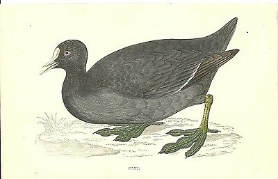 Coot From F.o. Morris A History Of British Birds C1880 Hand Coloured Antique