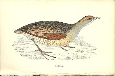 Landrail From F.o. Morris A History Of British Birds C1880 Hand Coloured Antique