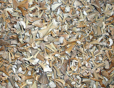 350 grams of Fossil Sharks Teeth  - Eocene age - Morocco. Ref:ST350 fossils