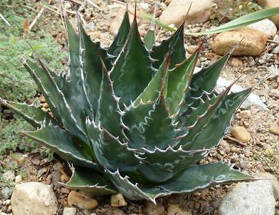 Agave montana - 1 x Hardy Architectural Plant in 9cm Pot