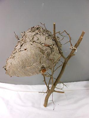 Large Paper Wasp Hornets Nest Beehive Bee Hive Taxidermy Western New York