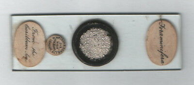 Antique Microscope Slide - Foraminifera from The Caribbean Sea.