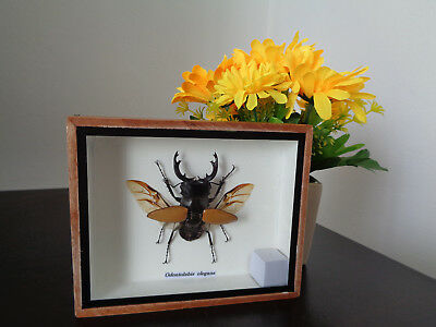 Taxidermy Real Stag Beetle Boxed Display Insect Lepidoptera Zoology Entomology