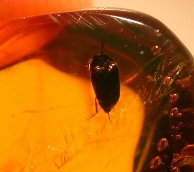 Superb Beetle with RARE Bryophyte Sprig in Authentic Dominican Amber Gemstone