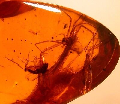 Long Legged Spider with Large Cricket in Authentic Dominican Amber Gemstone