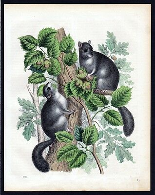 1860 - Haselmaus Maus mouse Lithographie lithograph
