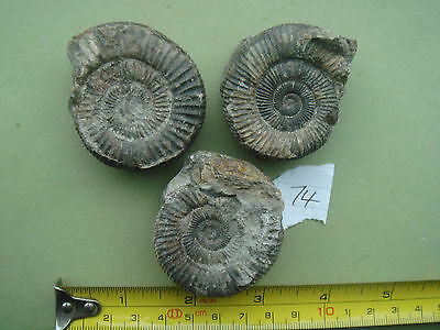 180 Million year old  Jurassic  Whitby fossil Ammonite. Totally genuine (lot 74)