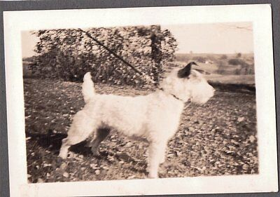 Vintage 1930's Welsh Wire Fox Terrier Dog Mary Crane Somers New York Old Photo