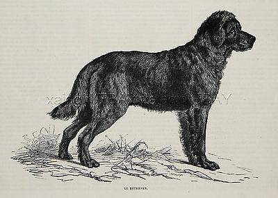 Dog Flat-Coated Retriever, Late 1870s Antique Engraving Print & Article