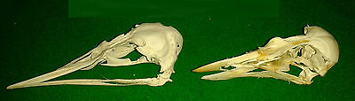 GUILLEMOT and PUFFIN SKULL Water Sea Bird Hunting Taxidermy