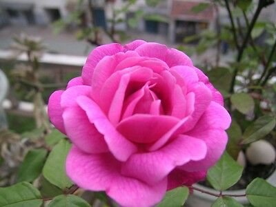 100 PCs Rose Flower Seeds for Home and Garden
