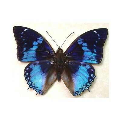 Framed Charaxes Maragdalis Male Real Blue Butterfly 202