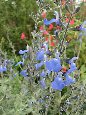 Salvia chamaedryoides, Drought Hardy perennial, brilliant blue flowers, 1 plant