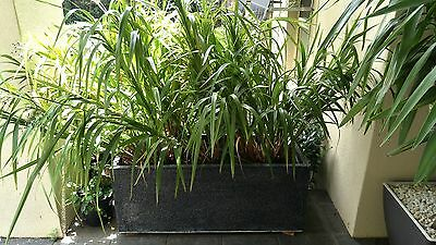 Dianella 'Godess' concrete planter box with approx 20 plants