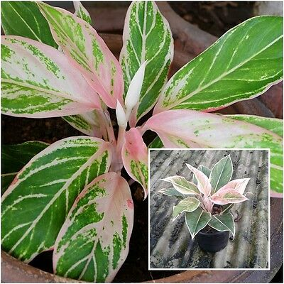 1 Pink Aglaonema Plants, Chinese evergreens, King Of Foliage plants, From Thai