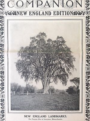 Antique Original1906 Print Ad {A14}~The Famous Elm At Lancaster,mass.