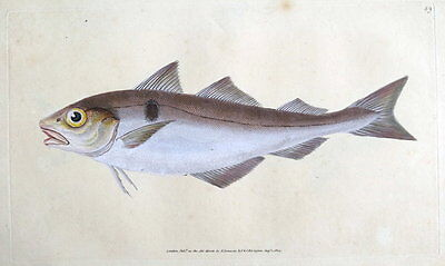 HADDOCK, E.Donovan original hand coloured antique FISH print 1804