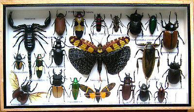 Real Rare Insect Display Taxidermy Big Set in Wood Box Collectible Gift