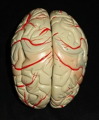 Denoyer Geppert Deluxe 8 Part Brain with Arteries Anatomical Model Anatomy
