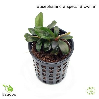 Bucephalandra spec. ´Brownie´ Live aquarium Plants Shrimp & Snail Safe Low Tech