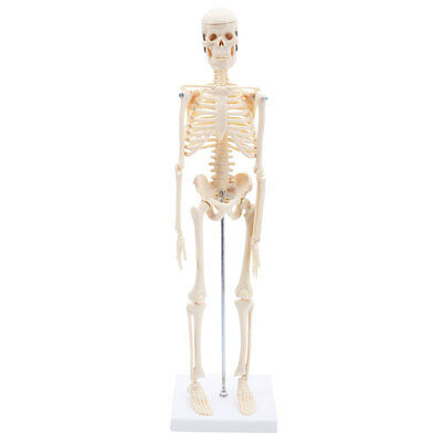 New 45CM Human Anatomical Anatomy Skeleton Model Fexible Medical School Teaching