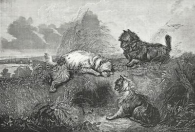 Dog Cairn Terriers & West Highland Terrier Hunting, Large 1870s Antique Print