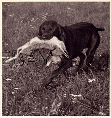DOG German Shorthaired Pointer Solid Color, Quality Vintage 1941 Print