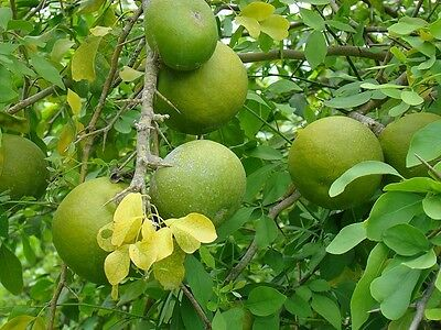 50  Seeds  Aegle marmelos, Bengal Quince, Golden Apple, Stone Apple,Bael  Seeds