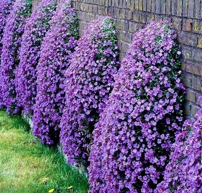 CASCADING ROCK CRESS Hanging Trailing Aubrieta Mix  Hardy Perennial 50 Seeds