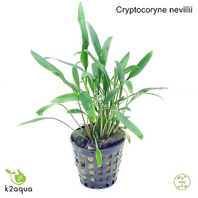 Cryptocoryne nevillii Live Aquarium Plants Tropical Aquascaping Tank Co2 nano EU