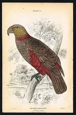 1836 Antique Print - Southern Nestor Parrot, Kea, Hand-Colored Engraving