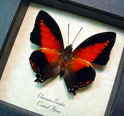Real Framed Shining Red Charaxes Zingha Male Butterfly 219