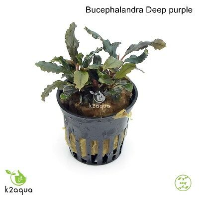 Bucephalandra Deep Purple Live Aquarium Plants Shrimp & Snail Safe Low Tech EU