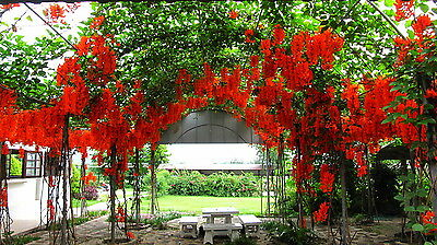 Rare seeds » Mucuna bennettii - Red jade vine - 1 fresh seeds