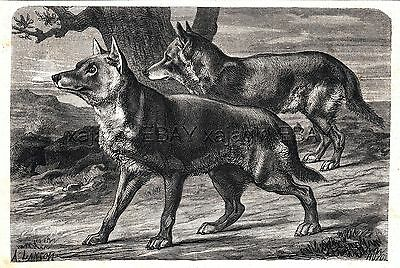 Wolf Pair, Hunting Wolves, Beautiful 1860s Antique Engraving Print & Article