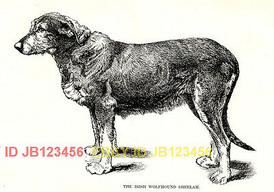 DOG Irish Wolfhound, Named, 1890s Antique Print