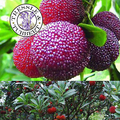 Rare Myrica Rubra Fruit Tree - 3 seeds - UK Seller