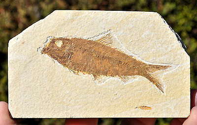 Fossil Fish - Knightia - Eocene age - Green River formation. Ref:V.KN1