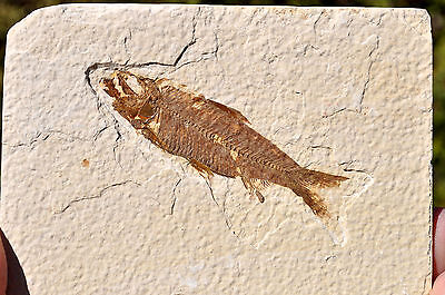 Fossil Fish - Knightia - Eocene age - Green River formation. Ref:V.KN2